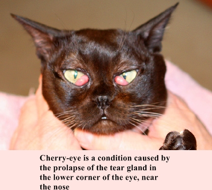 How To Treat Cherry Eye In Cats